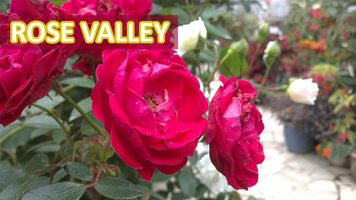 Rose-Valley